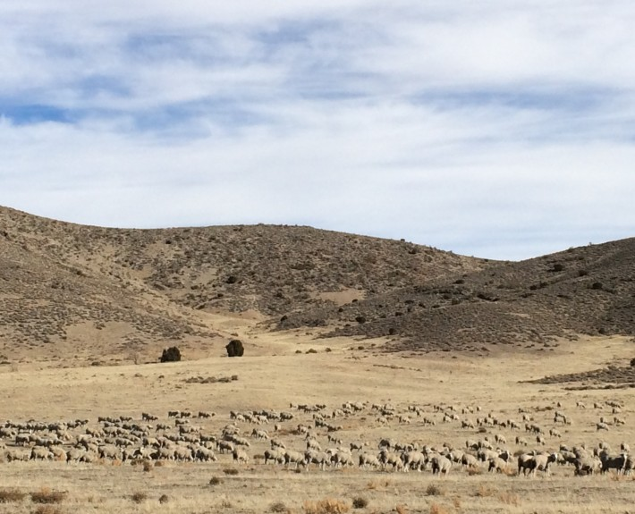 Sheep along the Pony Express