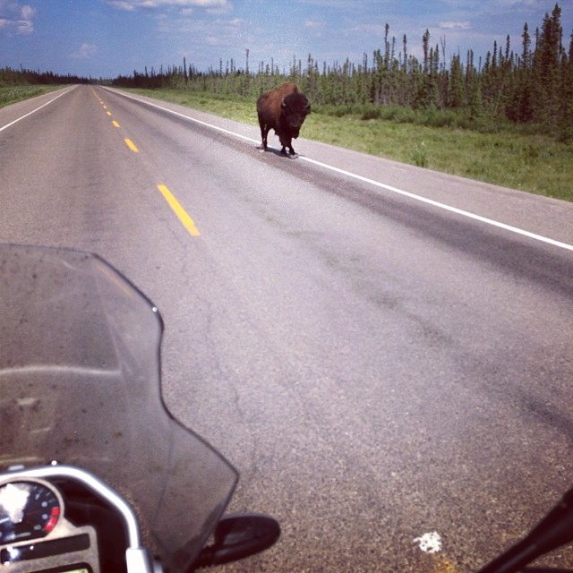 Buffalo in the Road on Motorcycle
